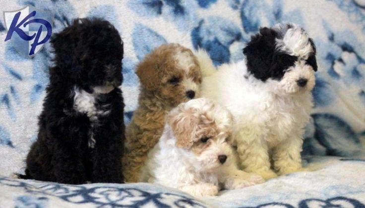 Tinkerbell – Poodle – Mini Puppies www.keystonepuppies.com  #keystonepuppies  #minipoodles