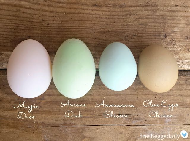 A Rainbow of Egg Colors - What Breed of Chicken Lays Which