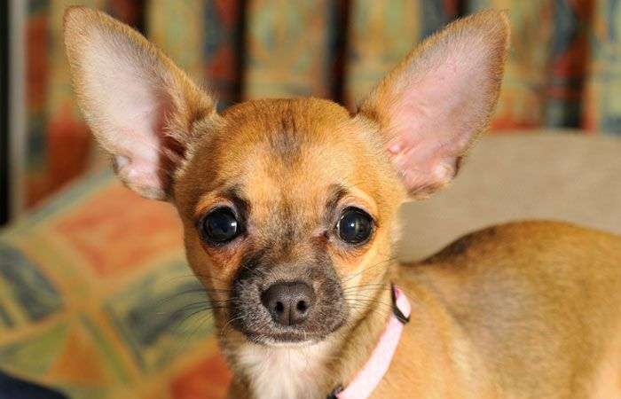 10 Best Dog Foods For Chihuahuas 2020 Guide Best Dog Food