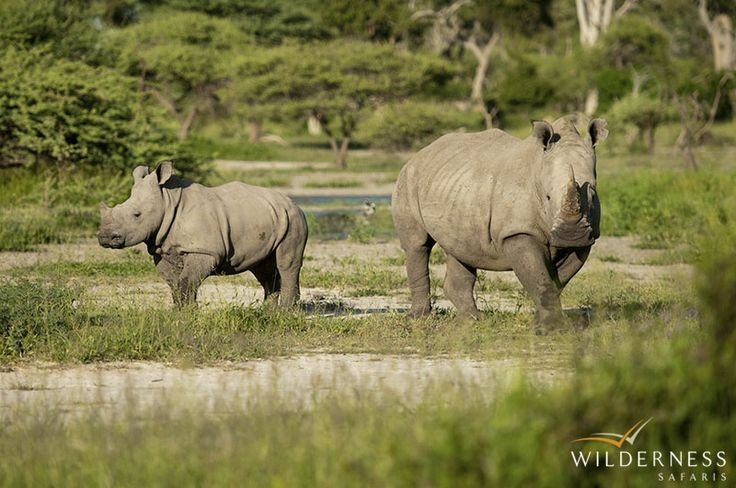 Little Mombo – Chief's Island is also home to the only white and black rhino found in the Okavango Delta. #Africa #Safari #Botswana