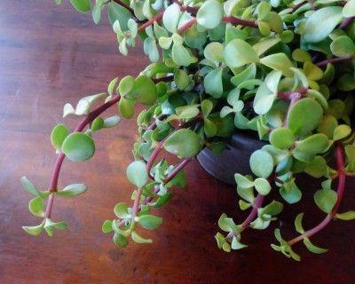 Portulacaria afra variegata | staged succulents | Pinterest |Elephant Caring For Jade Plant