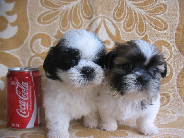 Cute Shih Tzu Puppies needs new homes! Shih tzu puppy