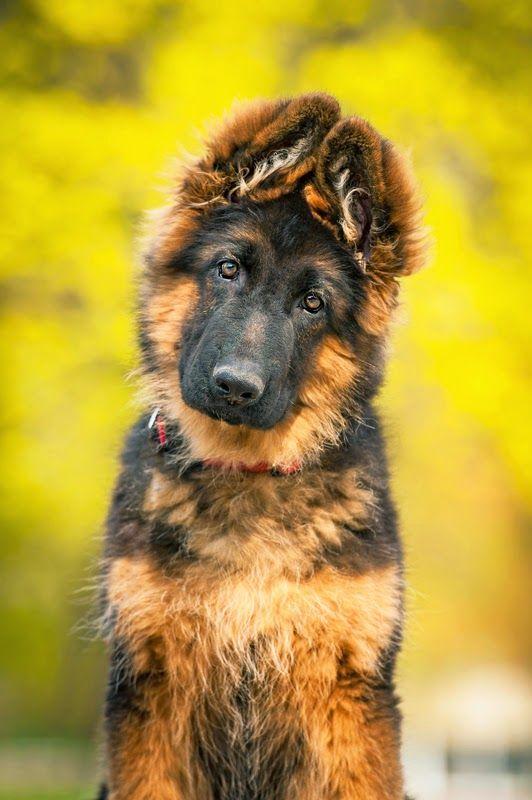 Plush-coated German shepherd puppy. Shutterstock.