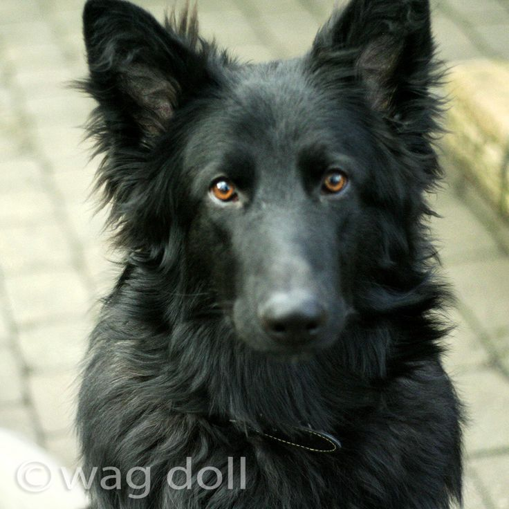 """Look into my eyes!"" Black German Shepherd Dog"