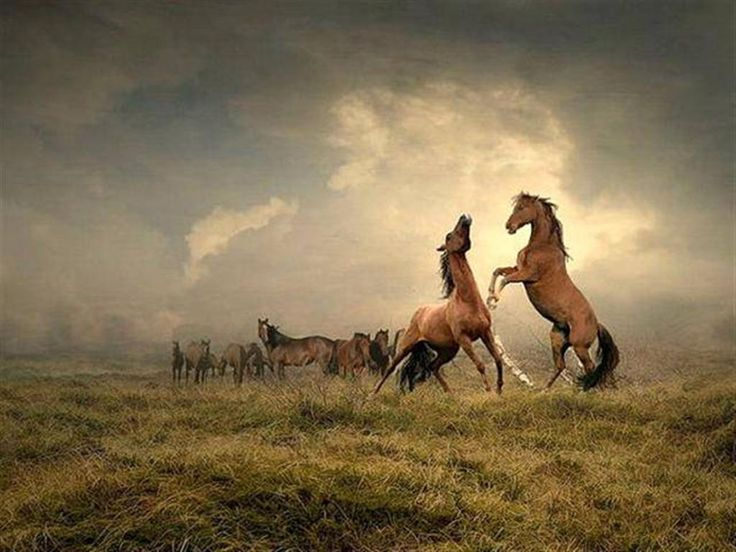 Two Mustang Stallions Fighting For the Band of Mares.