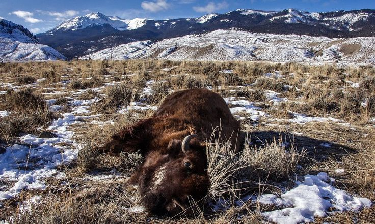 The American bison once faced extinction – now they're being culled. Native American photographer Joe Whittle attends a hunt held by tribal members