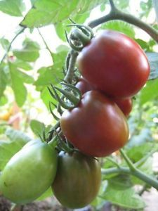 I have heirloom tomato plants for sale!