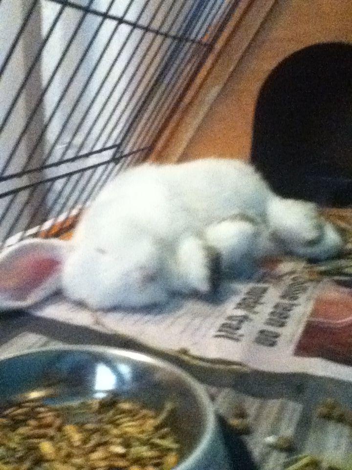 My cute lop eared rabbit
