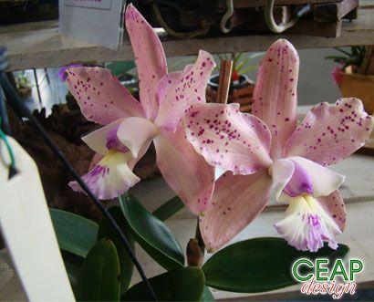 CEAP Design----Cattleya kerchoveana x brabantiae