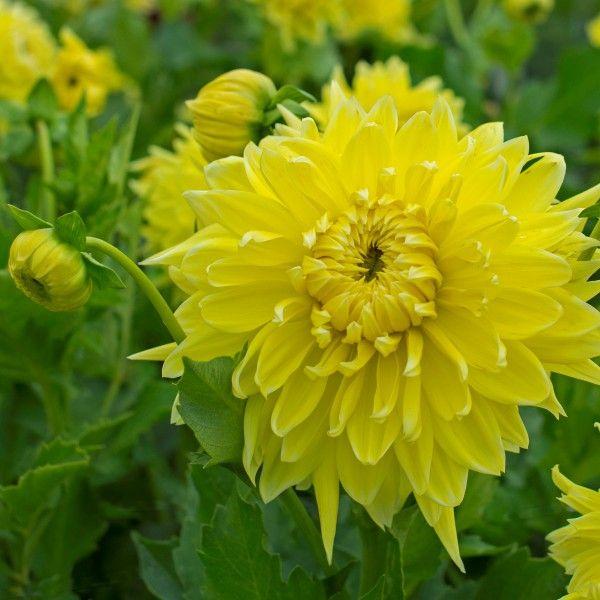 Die Dahlie 'Bilbao' blüht in sommerlichem Gelb. Ihre leicht zerzausten Blütenblätter sehen im Garten und auch in der Vase toll aus. Pflanzzeit für die Knollen ist im Frühling - online erhältlich bei www.fluwel.de