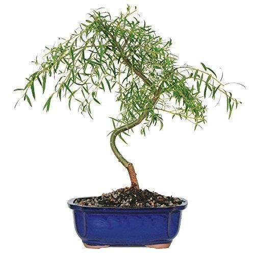 Bonsai Japanese Weeping Willow Tree Foliage Plant 3 Years Best Gift NEW #BonsaiJapaneseWeepingWillow