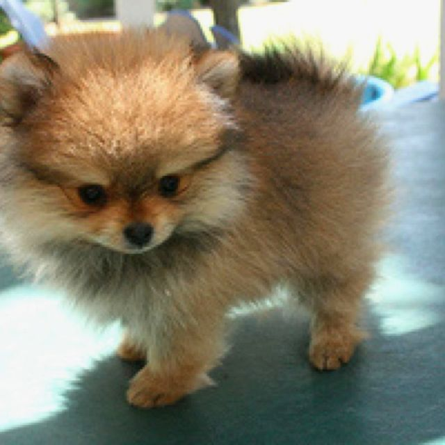 Cutest puppy ever - baby pomsky.
