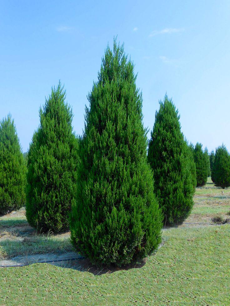 Idyllwild eastern red cedar trees evergreens