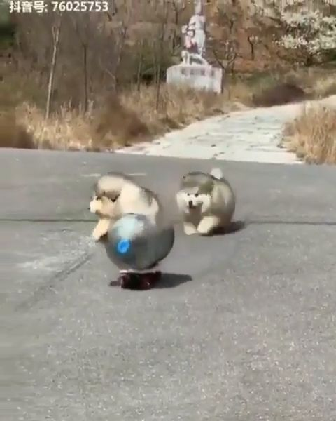 Funny Husky puppies