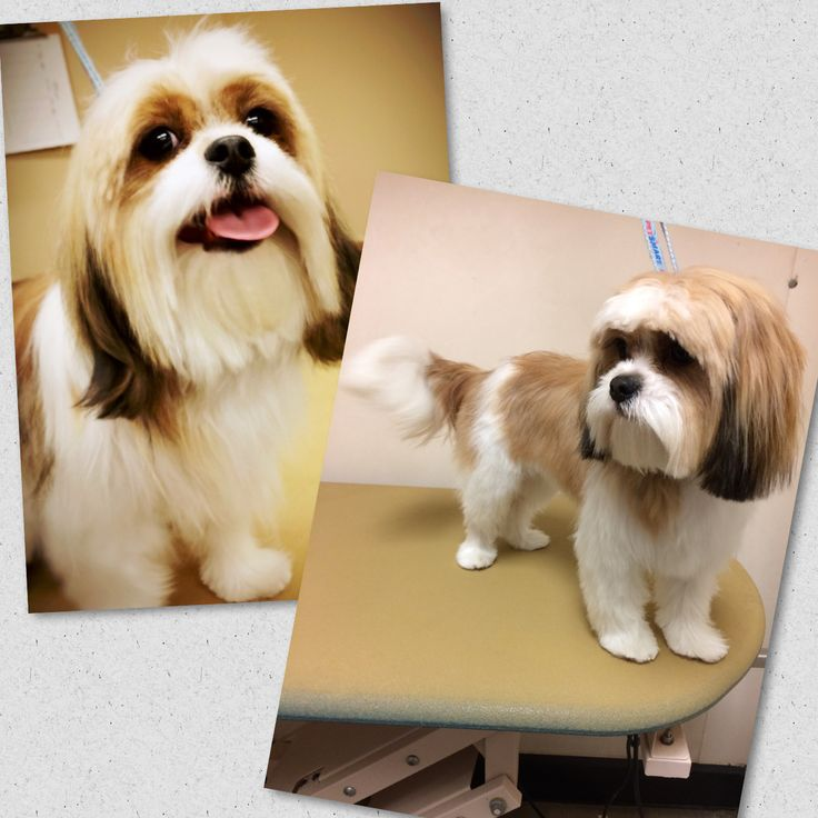 -repinned-Before and after Dukes first full haircut!