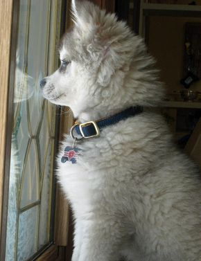 Jake the Alaskan Klee Kai **I will be adopting a AKK as soon as possible!!!!** I WANT ONE SO BAD!!!!