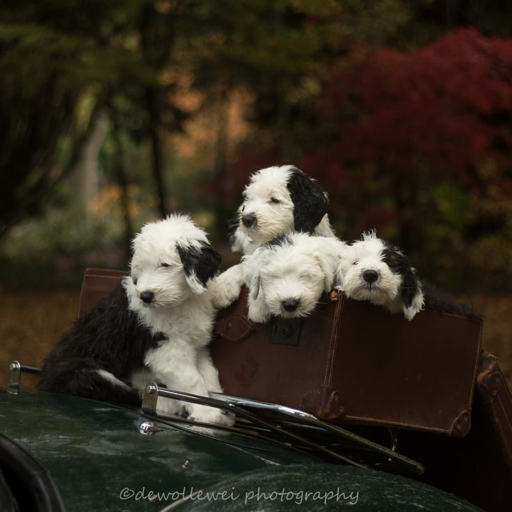 a load full of cuteness - old English sheepdog puppies