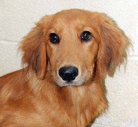 Bindi is an adoptable Golden Retriever Dog in Larchmont, NY. Bindi is an adorable female Golden Retriever mix, about 5 months old and 28 lbs. She is very sweet and friendly. This organization is run b...