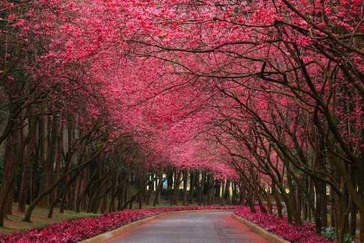 love the contrast between the pink flowers in a dark tree.