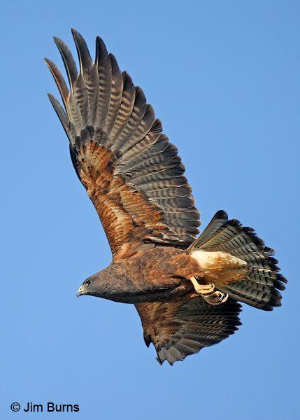Swainsons Hawk | Raptors, Falcons, Eagles, Falconry, Birds