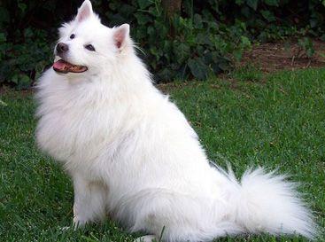 Esquimau Américain: petit chien d'appartement