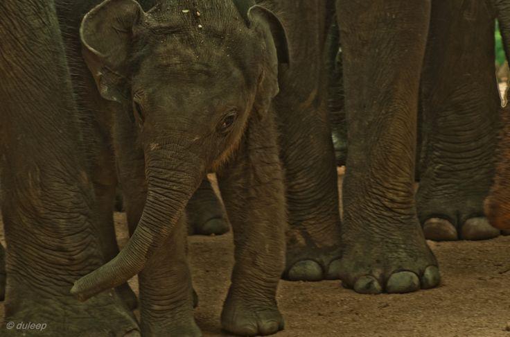 Pinnawala Elephant Orphanage is an orphanage, nursery and captive breeding ground for wild Asian elephants located at Pinnawala village, 13 km northeast of Kegalle town in Sabaragamuwa Province of Sri Lanka.