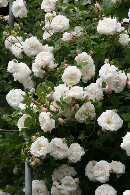 Cool Rosa alba uMme Plantier u beautiful foliage and arching stems can be trained