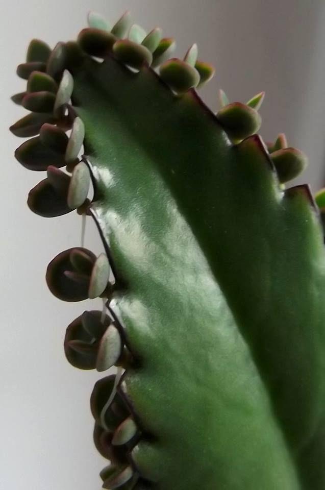 zyworodka lisc