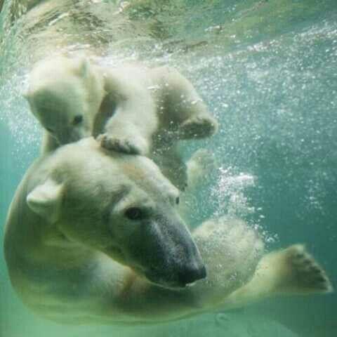 Polar bears... Swimming lessons...