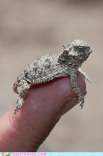 Horned Lizard. Saw my first one on the North Rim of the Grand Canyon, my second in Texas... they were once common...