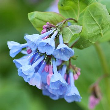 Top Deer-Resistant Plants of the Northeast Virginia Bluebells  A native wildflower through eastern North America. In spring  clusters of true-blue flowers. By midsummer, it goes dormant (plant w/partner like epimedium or lungwort), but it's worth it for the weeks of bloom and DEER AVOID IT.  Plant Name: Mertensia pulmonarioides  Growing Conditions: Shade and moist, well-drained soil  Size: To 2 feet tall and 1 foot wide  Zones: 3-7
