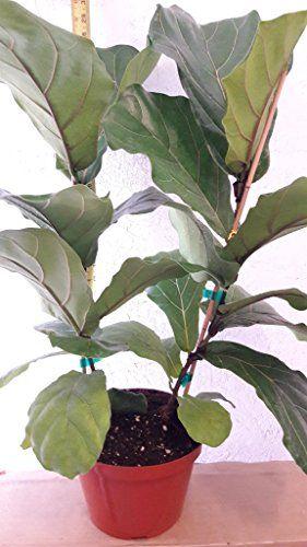"""Fiddle Leaf Fig Tree - Ficus Lyrata - Great Indoor Tree - Easy - 8"""" Pot"""