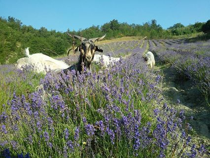 We received some help from our neighbor's goats to keep the lavender fields clean - Agriturismo Verdita - www.verdita.com