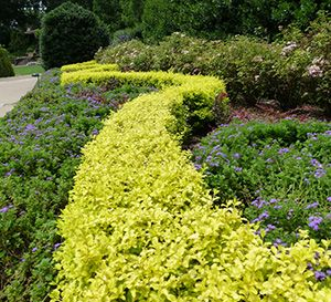 'SUNSHINE' LIGUSTRUM: Ideal as a low-growing hedge in the landscape, Sunshine Ligustrum offers year-round golden foliage that flourishes in full sun. This sterile, non-invasive cultivar will not re-seed into the landscape. In fact, it doesn't bloom at all, which is good news for allergy sufferers!