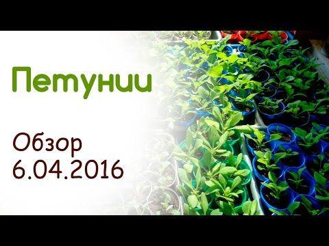 Петунии обзор 6.04.2016 - YouTube