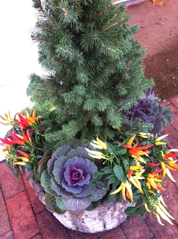 Red Lotus Gardening Co. | Raleigh, NC 27603 | Ornamental peppers with ornamental cabbage under evergreen.