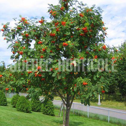 image de Sorbus aucuparia Rossica