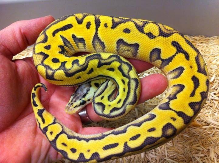 'Super pastel Puzzle' ball python (Python regius), Exotics by Nature Co., Facebook. Stunner!