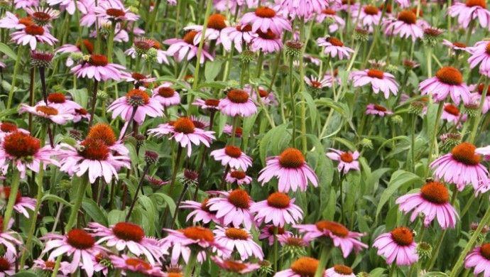die besten 25 sonnenhut pflanze ideen auf pinterest staudengarten seifenkraut und sonnenh te. Black Bedroom Furniture Sets. Home Design Ideas