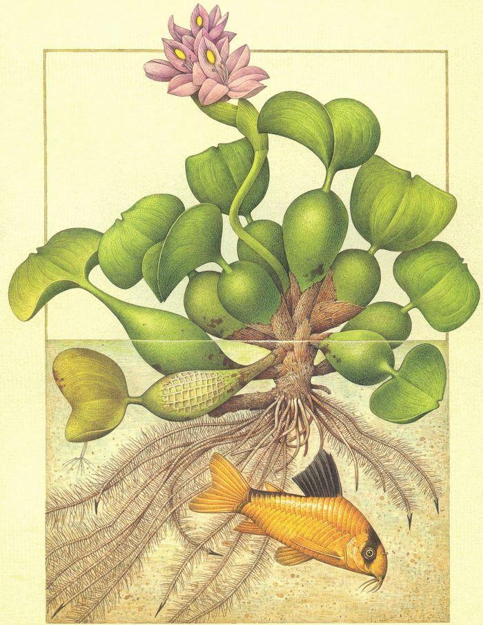 Radici filiformi di Giacinto d'acqua e Corydoras Metar (Sud America)