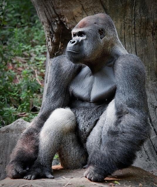 male model really cool gorilla nature pinterest