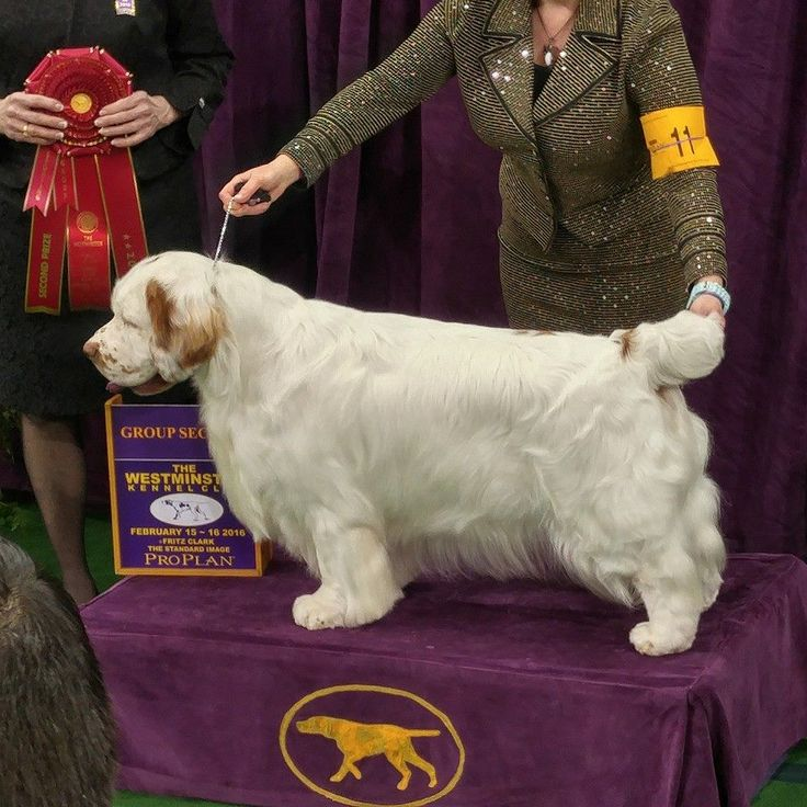 2016 Westminster Dog Show - Clumber Spaniel