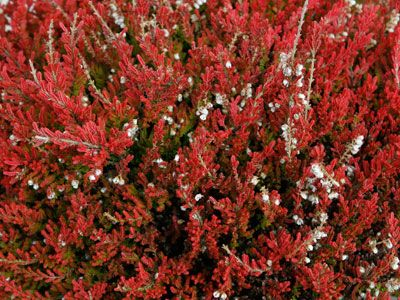 Bushes That Bloom In The Fall