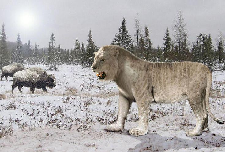 Cave Lion - Panthera leo spelaea