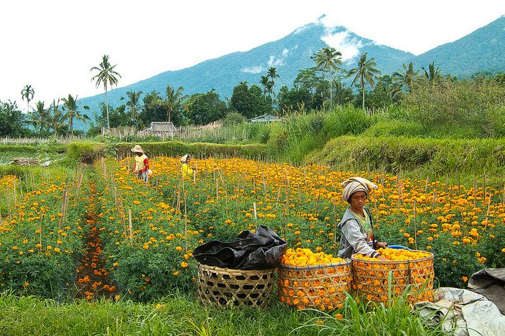 Marigolds, so important in daily Balinese Hindu offerings, are grown in a highly fertile, volcanic area of north Bali.
