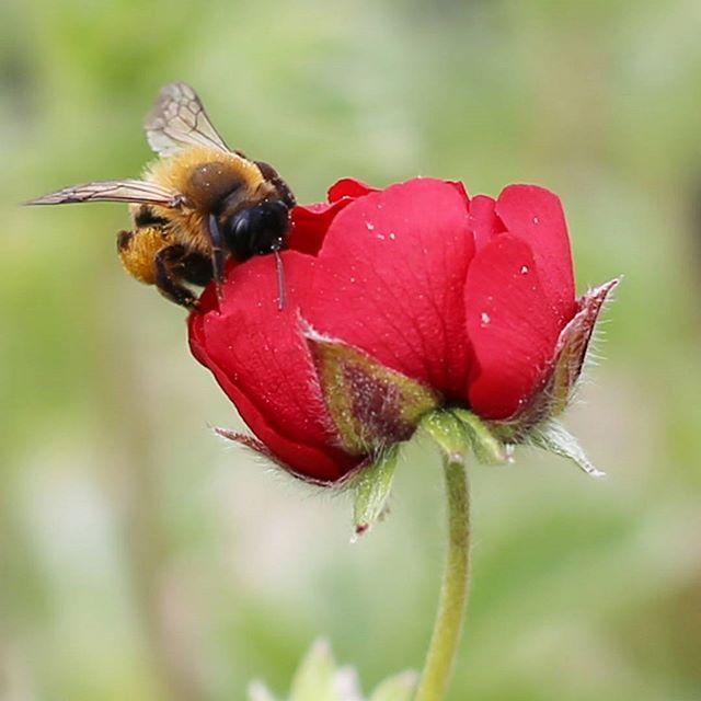 Ihanaa perjantaita kaikille!  #flör #flör2017 #verihanhikki #potentilla #potentillaatrosanguinea #punainen #red  #florkukkajapuutarha #kukkajapuutarhaflör #kukkakauppa #piha #puutarha #turku #kissmyturku #love_turku  #flowerstagram #flowerinspo #natureinspires #natureinspired