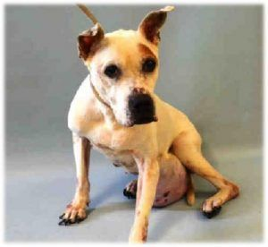 SUPER URGENT 03/11/17 Manhattan Center KURAS – A1105890 *** NEEDS IMMEDIATE FOLLOW UP VET CARE *** FEMALE, WHITE, AM PIT BULL TER, 10 yr STRAY – STRAY WAIT, NO HOLD Reason STRAY Intake condition EXAM REQ Intake Date 03/11/2017, From NY 10467, DueOut Date 03/14/2017