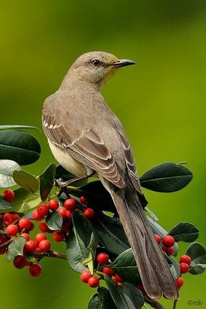 Mockingbird, best known for habit of mimicking songs of other birds & sounds of insects & amphibians.