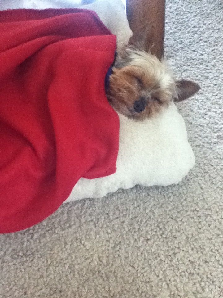 Sleepy Yorkie......Looks just like my Jake under the covers:)
