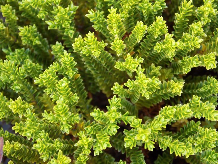 H*B* Green Globe Is A Low Compact Evergreen Shrub With 640 x 480